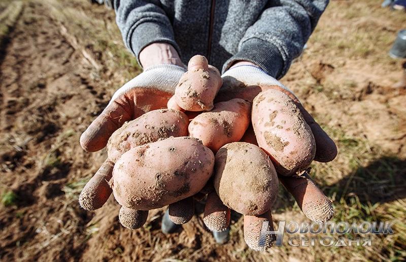 BRSM uborka kartofelja (3)