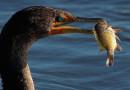 В Национальном парке «Браславские озера» бакланы массово уничтожают рыбу