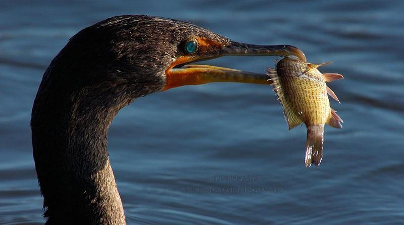 бакланы поедают рыбу