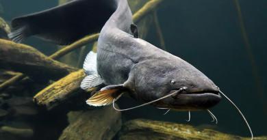 В рыболовных угодьях Витебской области установлен запрет на лов сома с 31 мая по 1 июля